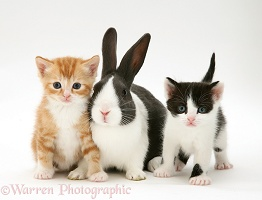 Kittens with blue Dutch buck rabbit