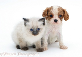 King Charles pup with Ragdoll kitten
