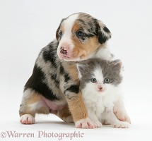 Border Collie pup and kitten