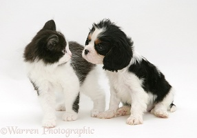 Kitten and King Charles pup