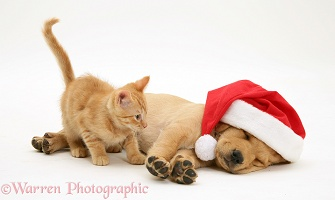 Ginger kitten and Retriever pup asleep with Santa hat