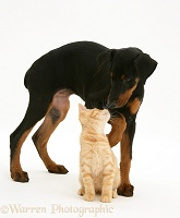 Doberman Pinscher pup meets a ginger kitten
