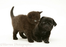Black Pug pup with black kitten