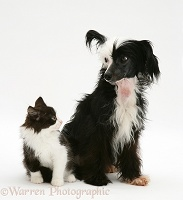 Chinese crested dog and black-and-white kitten
