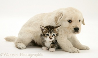 Tabby kitten and Golden Retriever pup