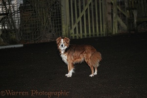 Sable Border Collie at night
