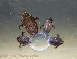 Water beetles under ice