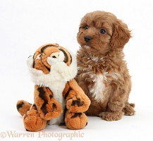 Cavapoo pup, 6 weeks old, and soft toy tiger