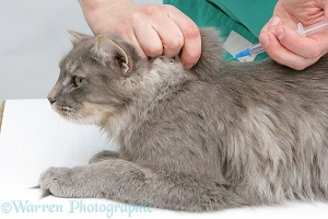 Vet administering a vaccination to a Maine Coon cat