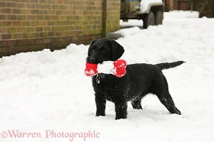 Black Labrador-cross pup with toy in the snow
