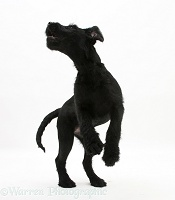 Black Labrador-cross pup jumping up