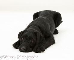 Black Labrador-cross pup with chin on the floor