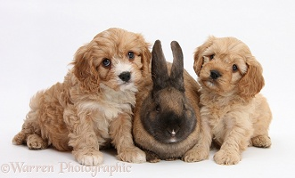 Seal-point rabbit and Cavapoo pups, 6 weeks old