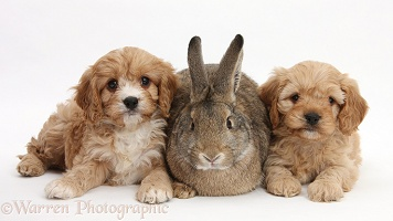 Agouti rabbit and Cavapoo pups, 6 weeks old