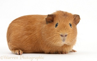 Young red smooth-haired Guinea pig