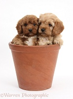 Two Cavapoo pups, 6 weeks old, in a flowerpot