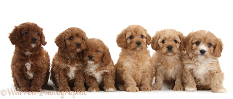 Cavapoo pups, 6 weeks old