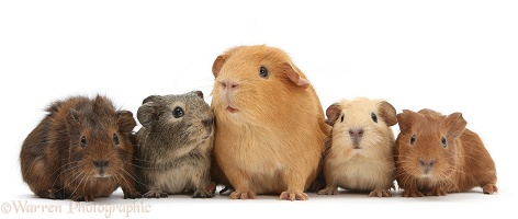 Mother Guinea pig and four baby Guinea pigs