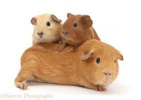 Mother Guinea pig with two babies riding on her back