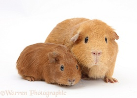 Red mother Guinea pig with red baby