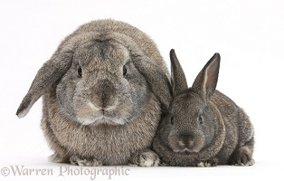Adult Lop and baby agouti rabbits