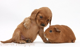 Red Cocker Spaniel pup with young red Guinea pig