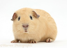 Young yellow smooth-haired Guinea pig