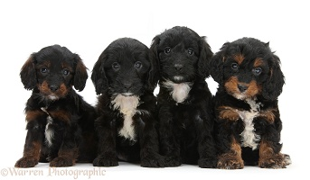 Four English Cockapoo pups, 6 weeks old