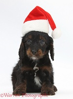 English Cockapoo pup, 6 weeks old, wearing a Santa hat