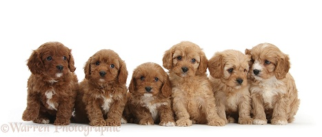Six Cavapoo pups sitting in a row
