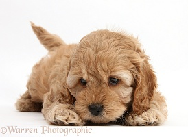 Cockapoo pup, 6 weeks old