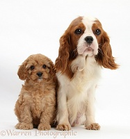 King Charles mother and Cavapoo pup, 6 weeks old