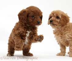 Playful Cavapoo pups, 6 weeks old