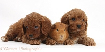 Cavapoo pups, 6 weeks old, and red Guinea pig