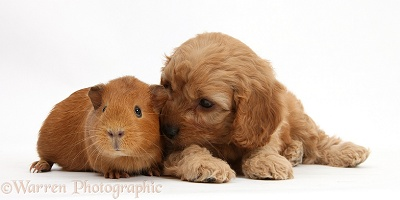 Cavapoo pup, 6 weeks old, and red Guinea pig