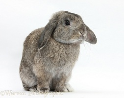 Agouti Lop eared rabbit