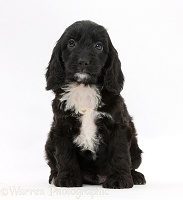 English Cockapoo pup, 6 weeks old
