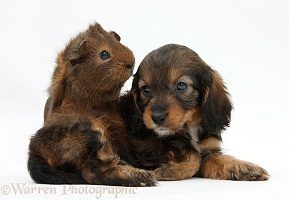 English Cockapoo pup, 6 weeks old, and Guinea pig