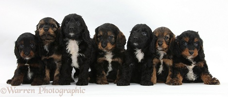 Seven English Cockapoo pups, 6 weeks old