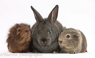 Baby agouti rabbit and baby Guinea pigs