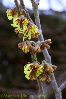 Witch Hazel in February