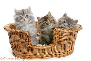 Maine Coon kittens, 8 weeks old, in a basket