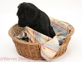 Black Labrador-cross pup chewing blanket