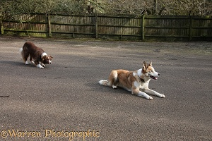 Border Collie stalking another