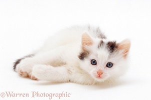Black-and-white kitten, 7 weeks old