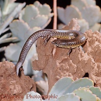 Speckle-lipped Skink eating an Army-worm