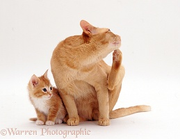 Ginger male cat and 7-week-old kitten