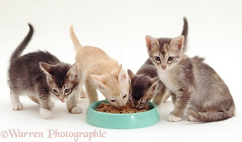 Birman-cross kittens eating from a bowl