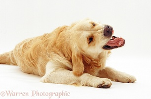 Golden Retriever bearing teach