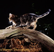 Tabby cat sharpening his claws on a branch